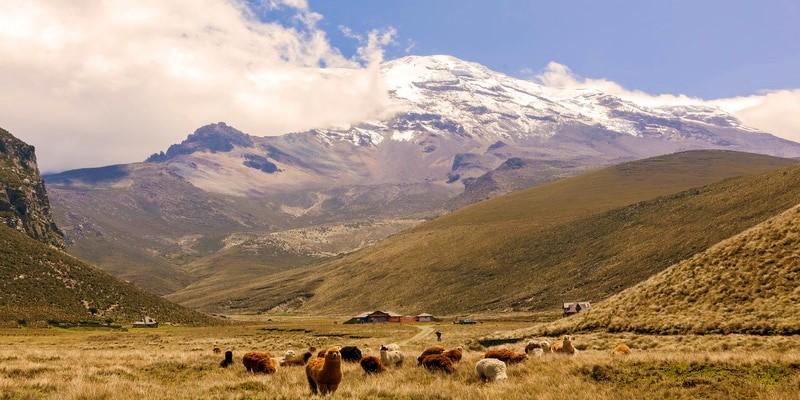 Llamas pastando al pie del volcán Chimborazo