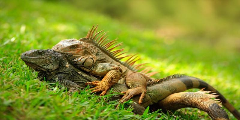 Iguanas Parque Manuel Antonio